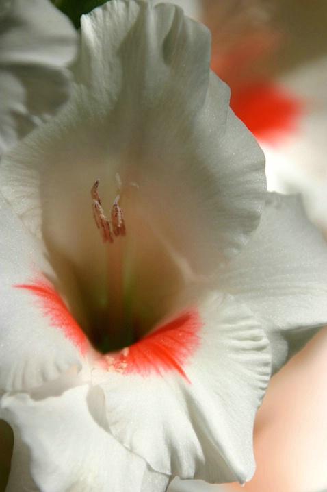 Gladiola....up close