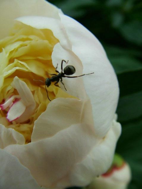 Ants love Peonies