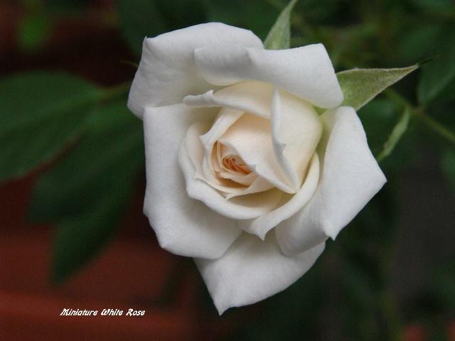 Signature Rose
