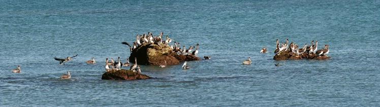 Doheny Pelican Panorama