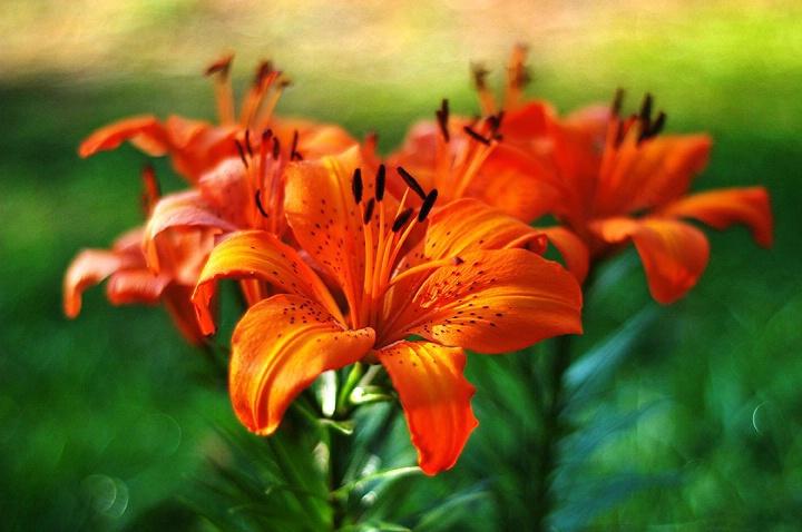 Lilies At Dawn