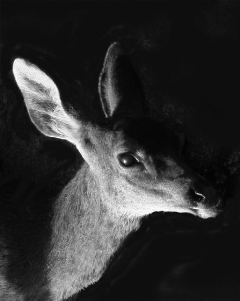 Portrait of a Black-Tail