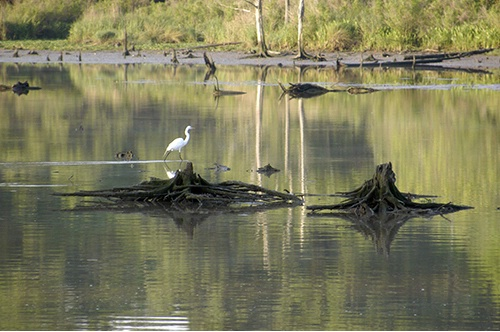 Egret at Low Tide -1