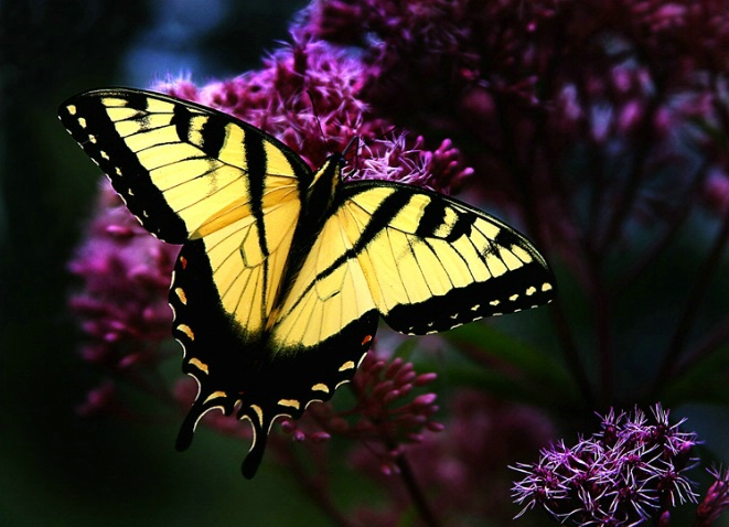 Swallowtail in pose
