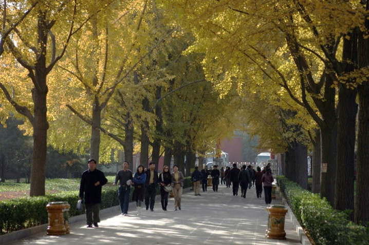 Lama Temple entrance walk w/ Ginkgo Trees