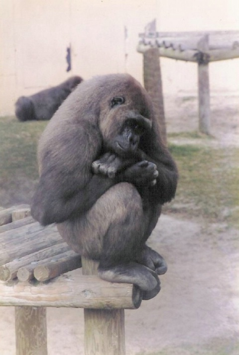 Gorilla at Gulf Breeze Florida Zoo 1996