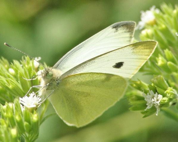 White Sulphur