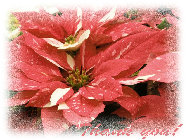 Varigated Poinsettia