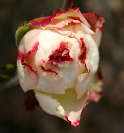 Frost bitten rosebud