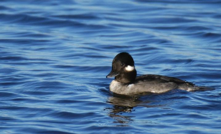 Bufflehead Duck
