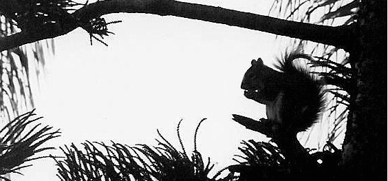Squirrel Silhoutte