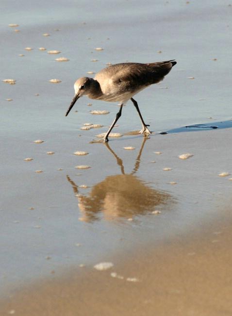 Sandpiper w/Reflection