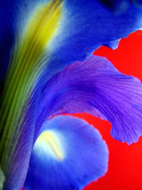 Iris Against Red