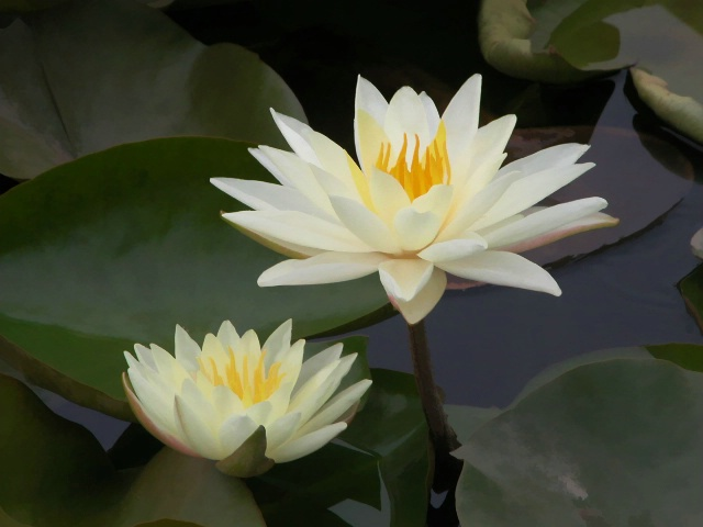 Water Lily and bloom