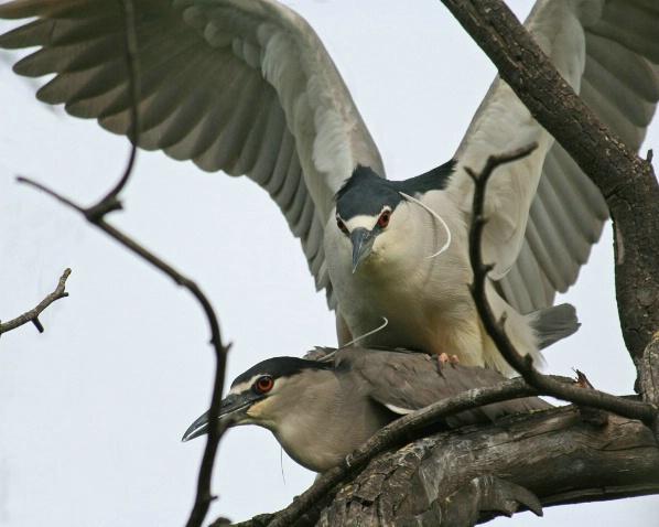 Mating Night Heron