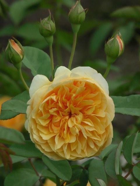 English Rose: Graham Thomas