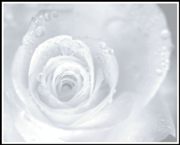 dew drop rose