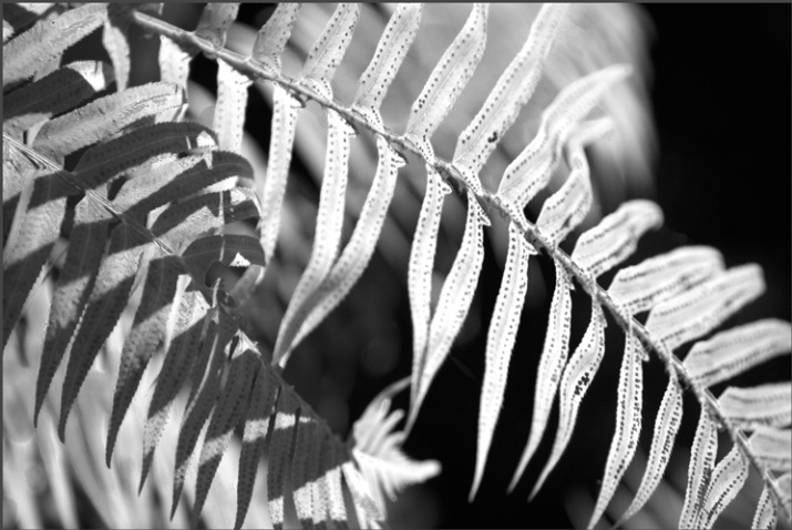 grey ferns