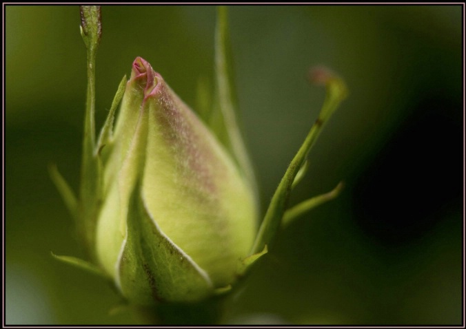 rose bud 1