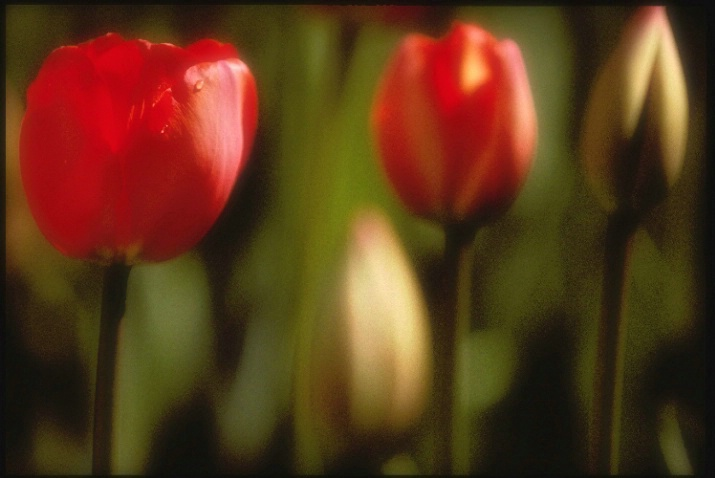 triple tulip