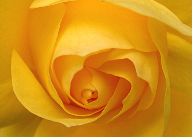 Shades of a Yellow Rose