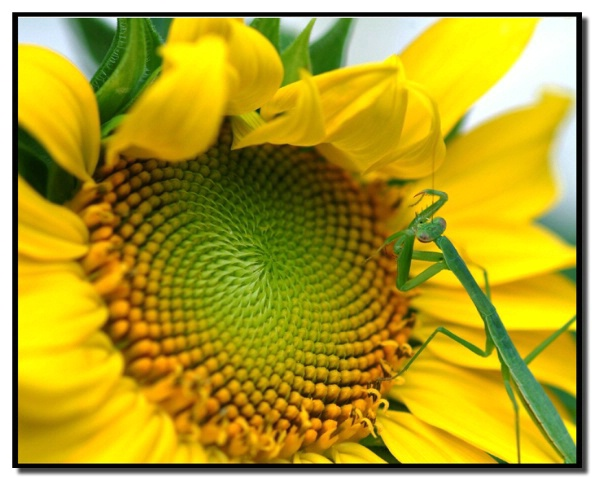 Mantis and Sunflower