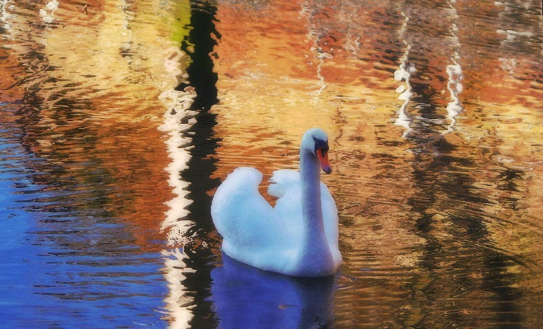 swan at early light