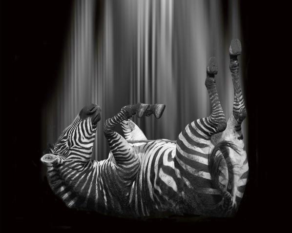 Falling Zebra