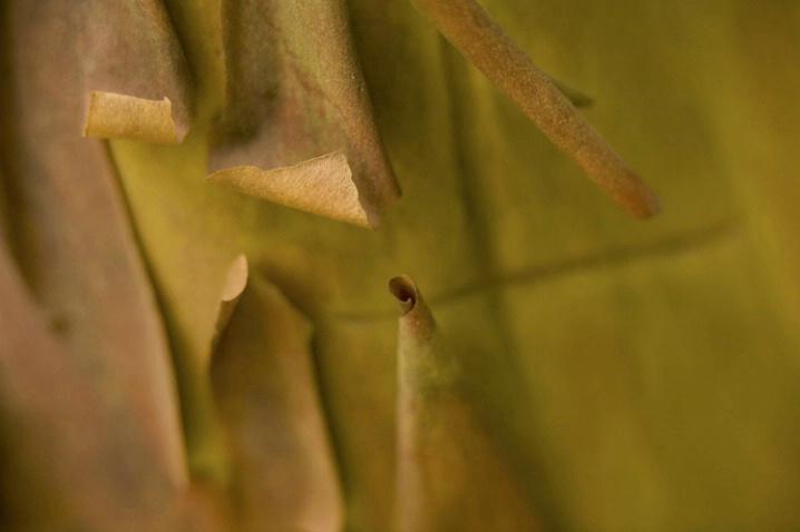 arbutus bark curls 1