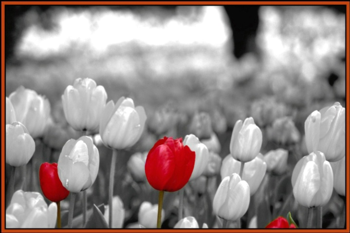 tulip dreams 3