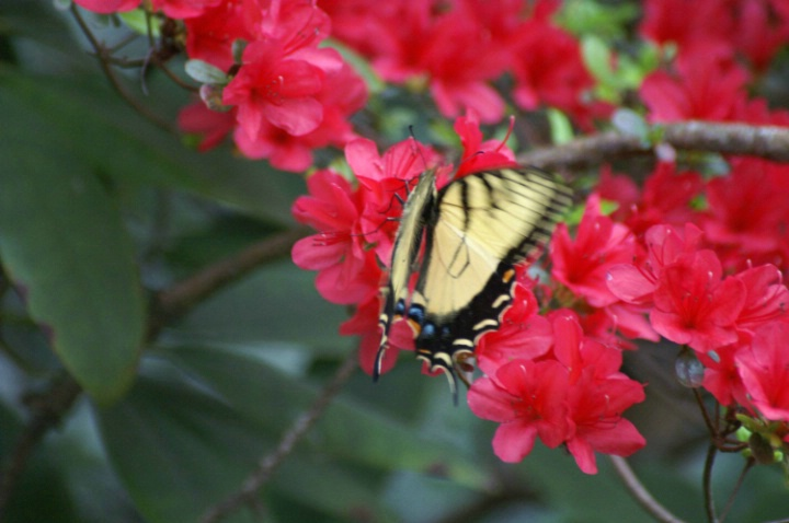 Yellow Butterfly in Red