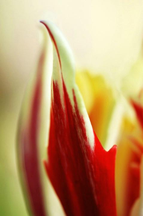 Love Tulip