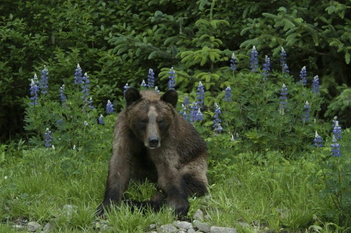 Bear with lupines