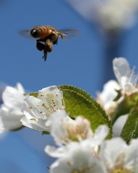 Honey Bee & Cherry Blossom