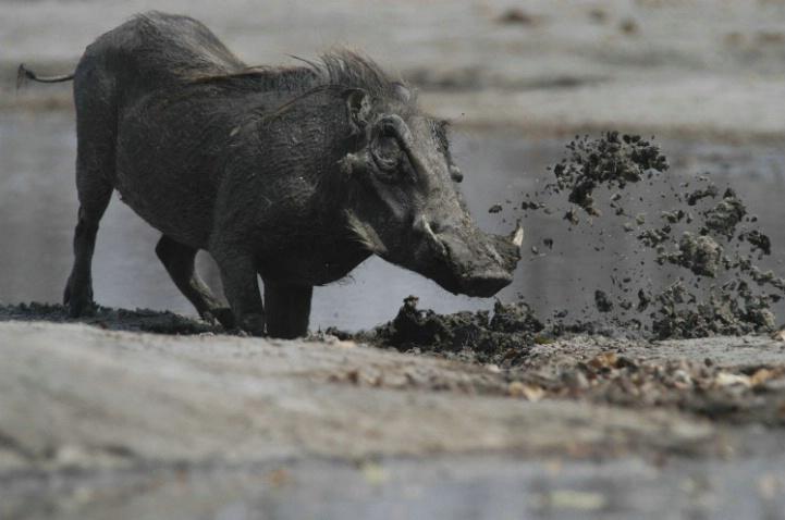 Warthog at Waterhole