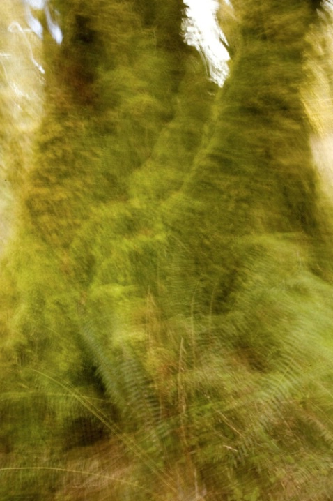 hoh forest shimmer 1