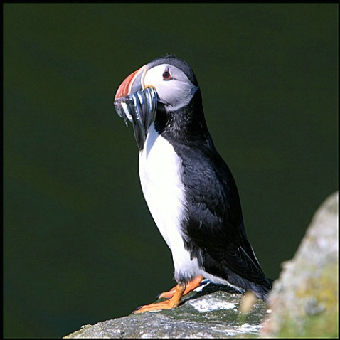 Puffin lunch