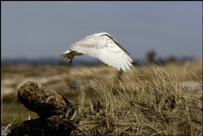 snowy owl take off 2