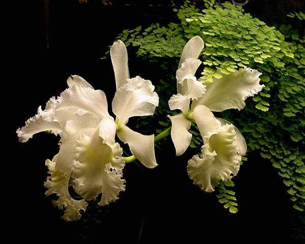 White Orchid - Longwood Gardens Kennett Square, PA