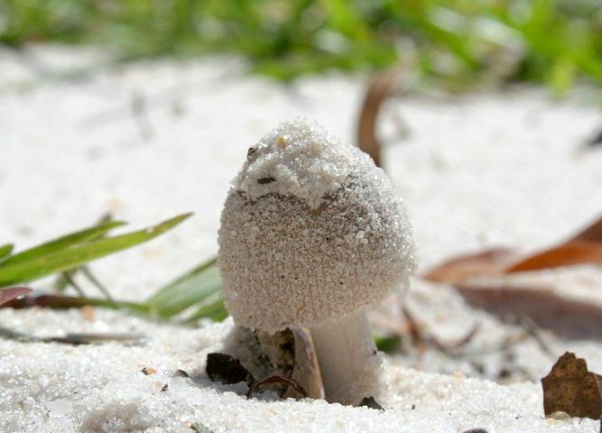 Sandy Mushroom