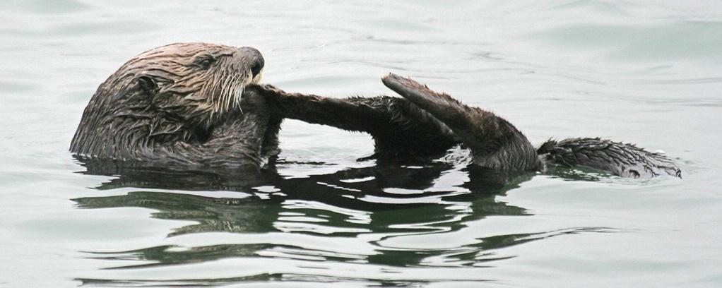 Otter at Elkhorn Slough