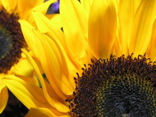 Sunflower study #3