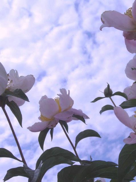 Peonies  Against  the  Sky