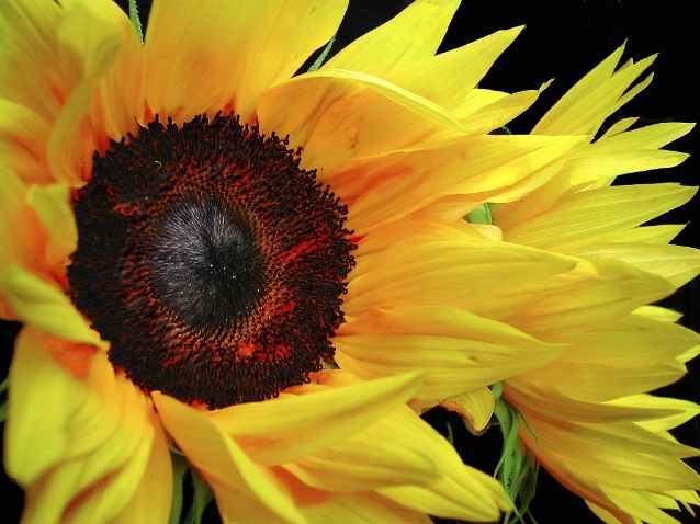 Sunflowers Doubles