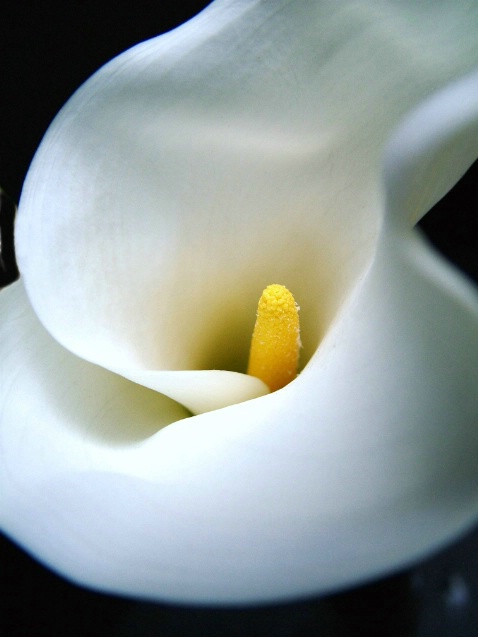 Graceful Calla