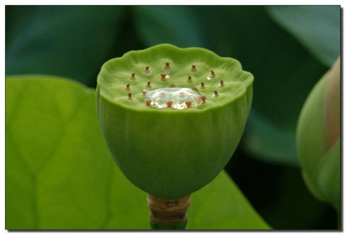 Lotus Stalk