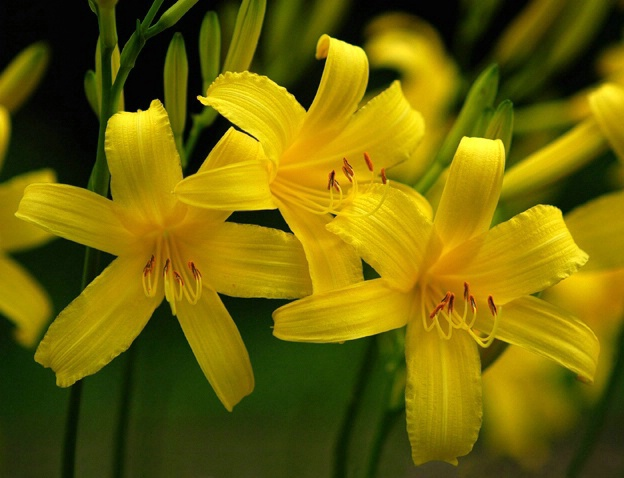 Lilies Three