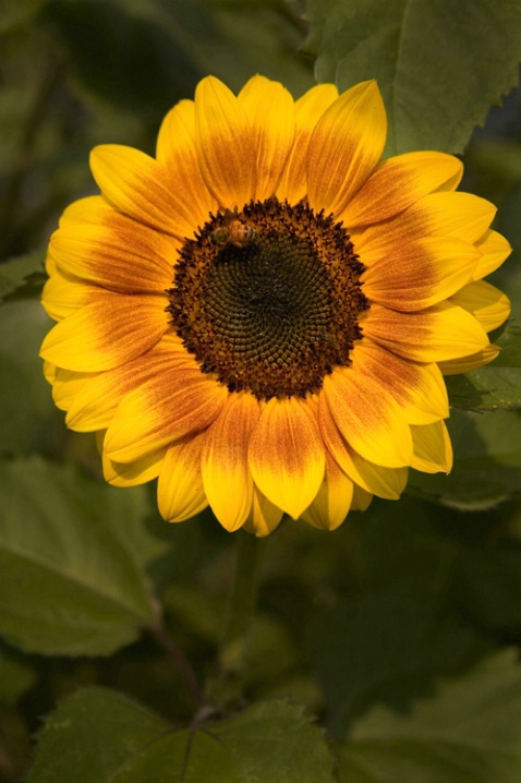 SUNFLOWER AND VISITOR