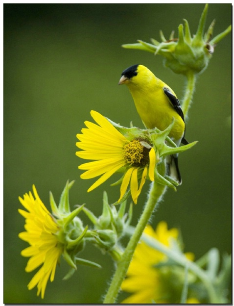Finch on a Flower