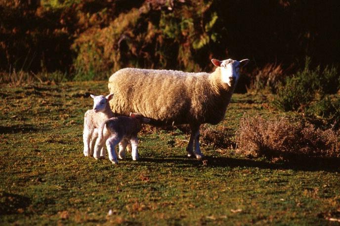 Ewe and her lambs New Zealand